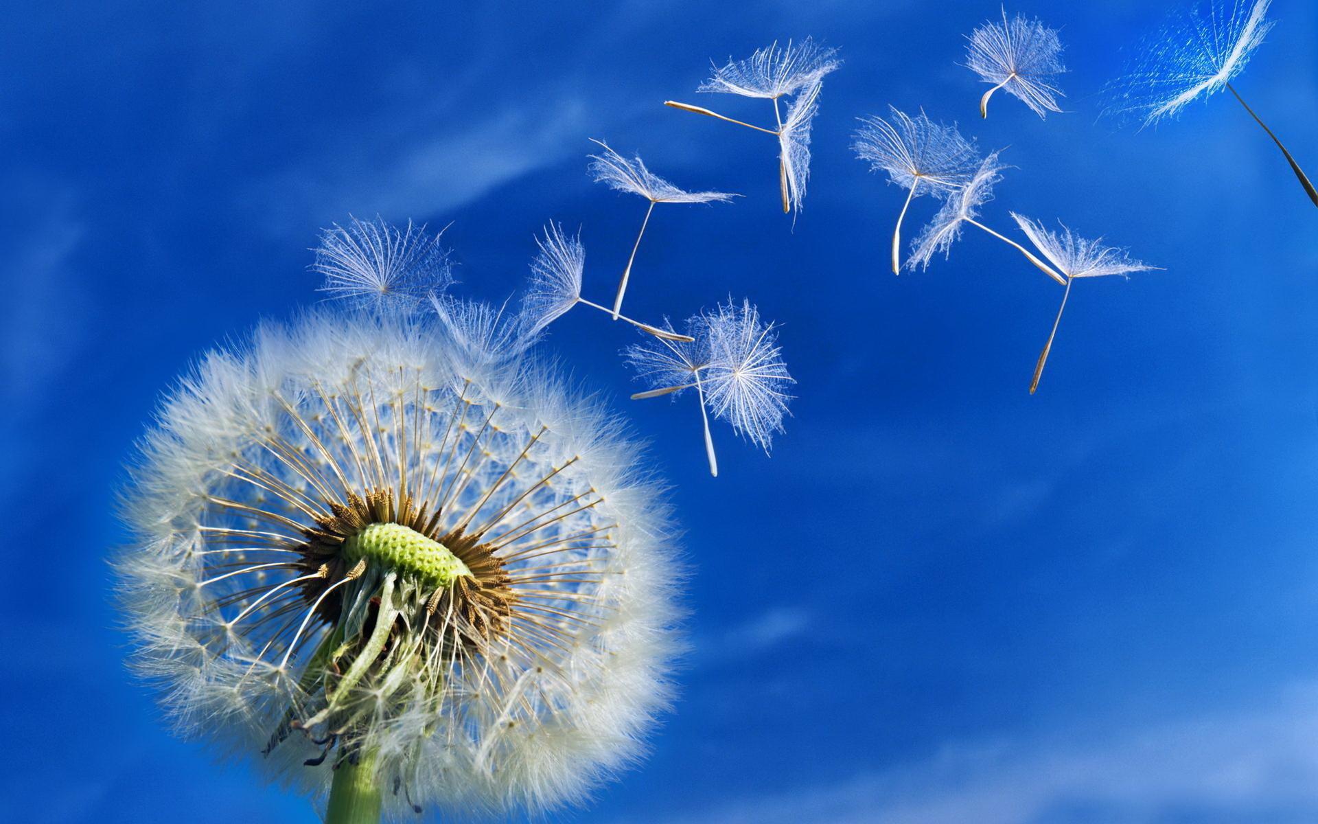 dandelion flower | renzzywenzzybooks